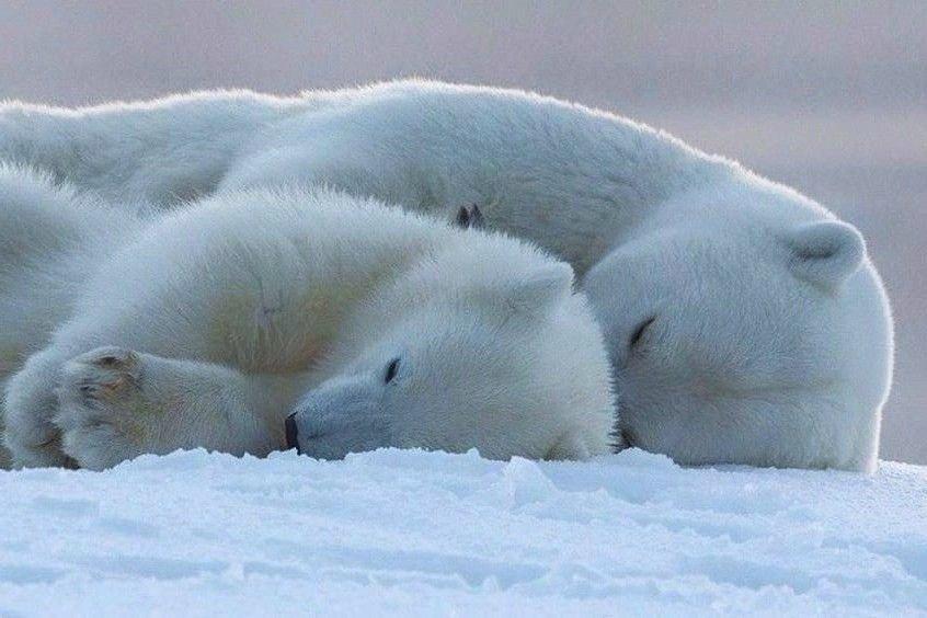 Большой и маленький белые медведи