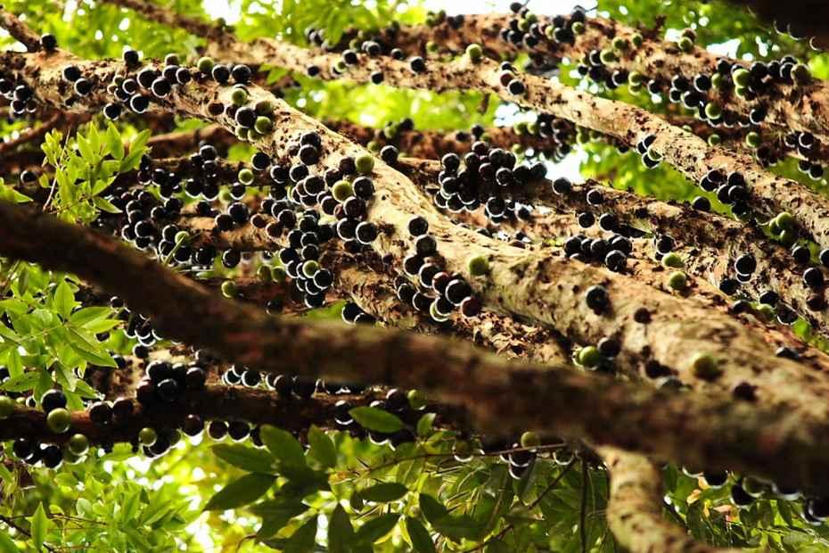 Дерево с плодами на стволе