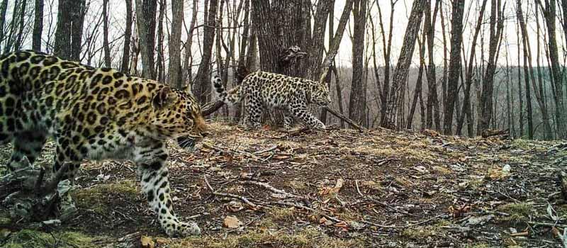 Царство диких кошек прироморье