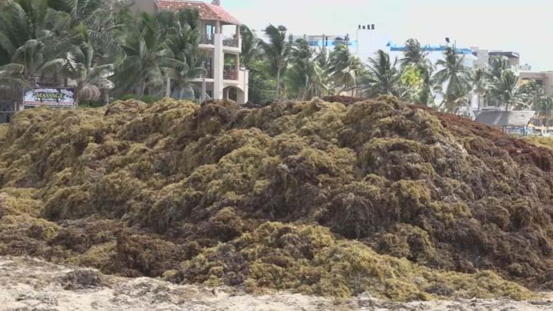 у берегов Мексики находится огромное скопление саргассовых водорослей