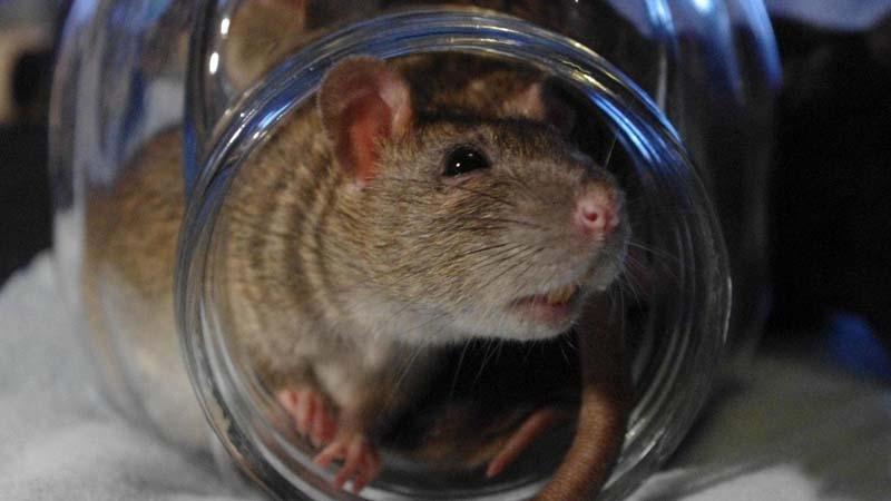 крыса в банке