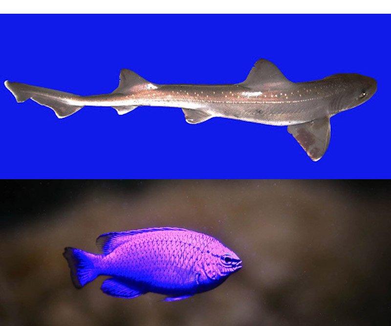 морской сапфир и бразильская светящаяся акула