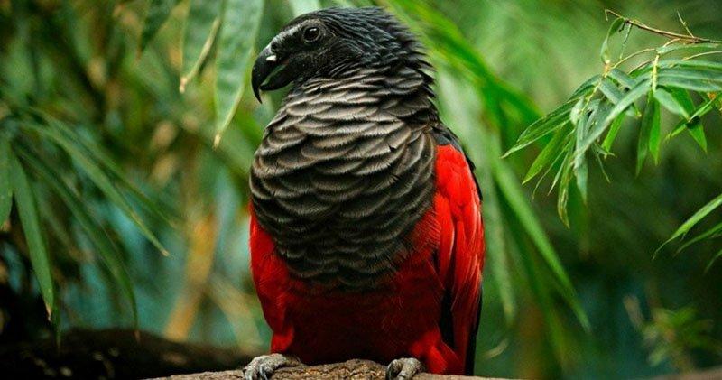 В какой части света можно увидеть попугая Дракулы