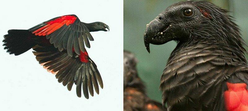 Попугаев Дракулы, а по-научному орлиных попугаев