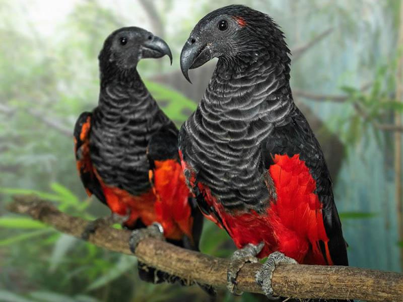 Попугай Дракулы в дикой природе встречается только во влажных лесах Новой Гвинеи