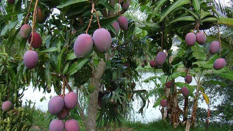 Манго — это елка