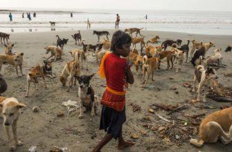 Для чего индийцы решили приспособить бродячих псов