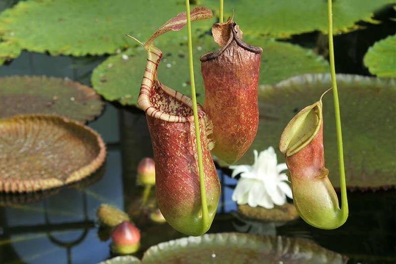 Новый вид плотоядных растений