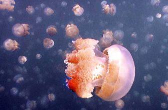 Почему в озере острова Эйл-Малк обитает очень много медуз