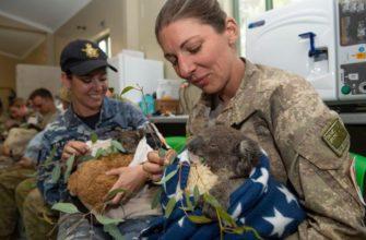 3000 солдат принимают участие в уходе за коалами, пострадавшими в пожаре