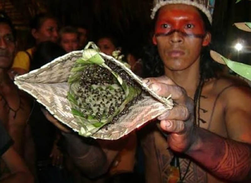 Он собственноручно собирает насекомых определенного вида, ими становятся муравьи-тукандейра, или по-другому «муравьи-пули»