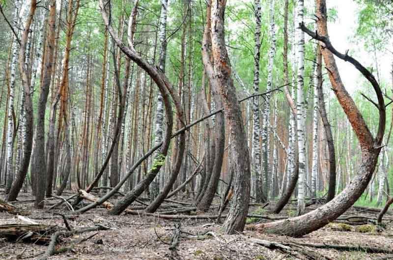 Участок леса в Рязанской области оказался не единственным, где растут «пьяные» деревья.