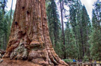 Гигант «Генерал Шерман» — самый крупный и тяжелый живой организм в мире
