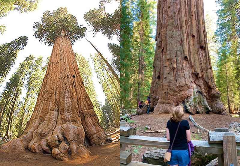 дерево Генерал Шерман нельзя отнести к самому старому дереву на планете.