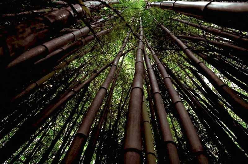 Все земли этой долины густо засажены бамбуком, высота которого около 40 метров.