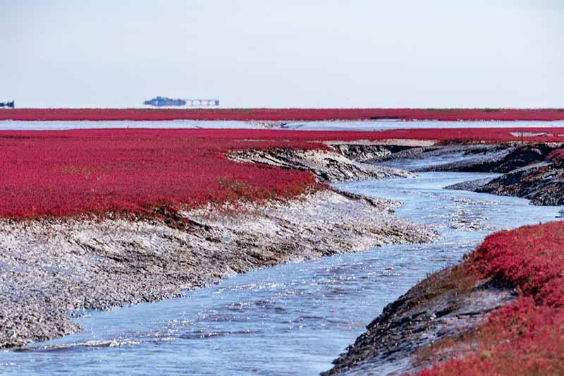 Красный пляж — территория, которая стала настоящим спасательным кругом для многих китайцев, страдавших от голода в 1960-е годы.